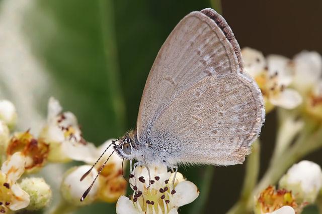 El Segundo Blue butterfly